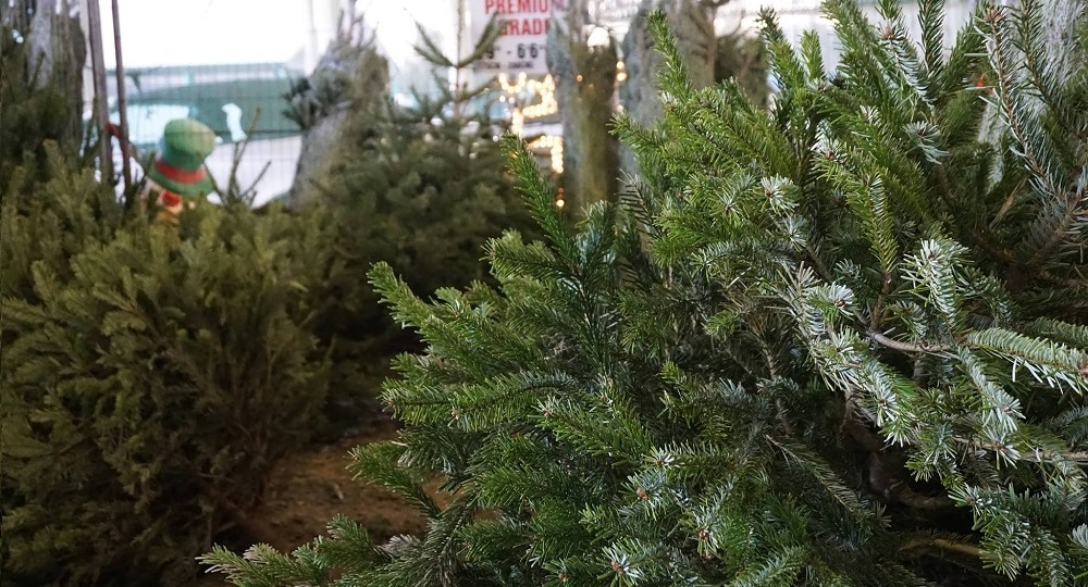 Harrogate Christmas Tree Centre