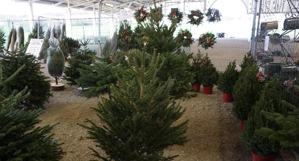 Christmas Trees for sale Harrogate
