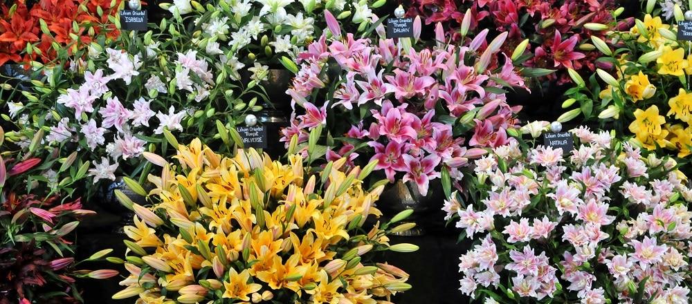 Flower Show Harrogate